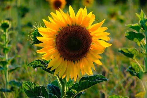 sunflower  flower  summer