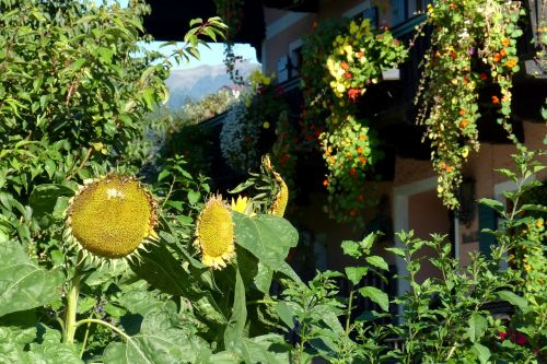 sunflower flourished from huge
