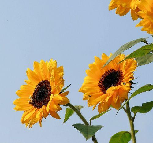 sunflower flowers yellow
