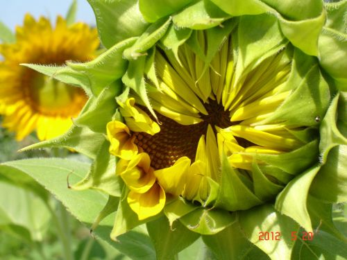 sunflower botanical plants