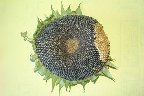 sunflower sunflower seeds sunflower head
