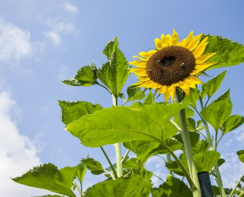 sunflower,summer,nature,yellow flower,blue sky,garden,flower,bloom,nice,park,bloom time,coloured,colorful,flowers,plants,plant,in bloom,blossom