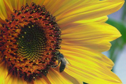 sunflower interior sunflower flower
