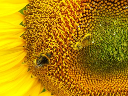 sunflower pollination cultural plants