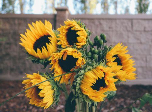 saulėgrąžos,geltona,gėlė,saulė,vasara,gamta,augalas,šviesus,sezonas,sodas,žiedas,gėlių,augimas,kaimas,žalias,botanikos,žydi,lapai,auksinis