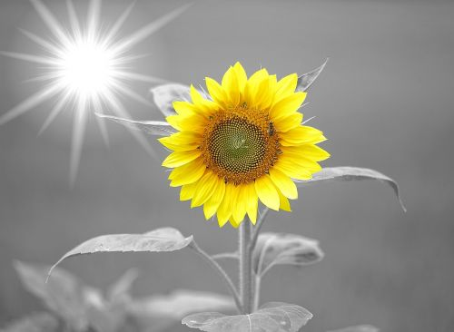 sunflower sunshine yellow