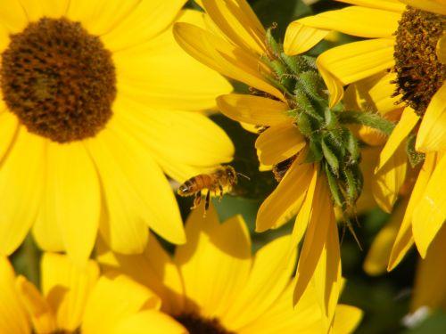 Sunflower And Honeybee