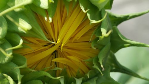 sunflower bud flower sun flower