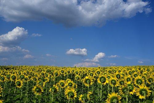sunflower field  sky  clouds
