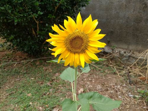 sunflower splendor single