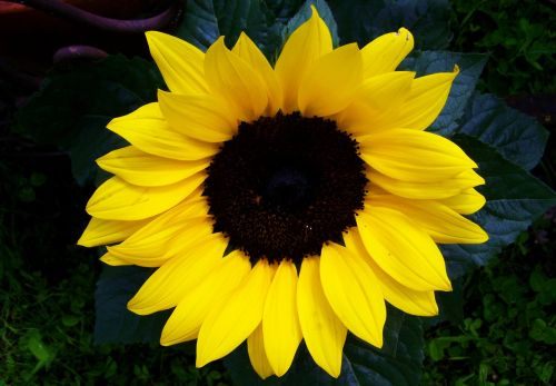 sunflower yellow ornamental sunflower sunflower garden