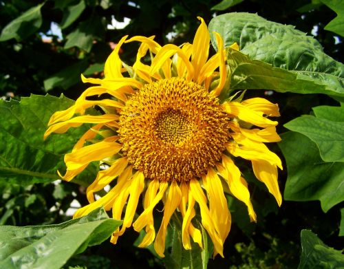 sunflower yellow sunflower garden ornamental sunflower