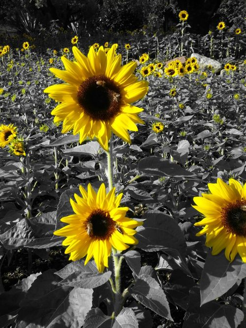 sunflowers yellow prato