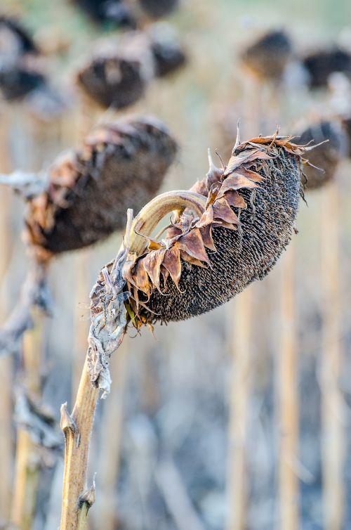 sunflowers fall harvest season