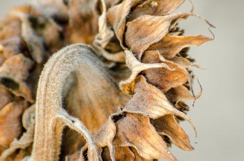 sunflower dried flower harvest