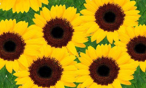 sunflowers yellow bright