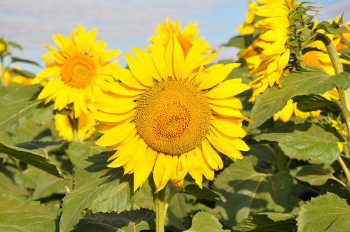 sunflowers são paulo brazil