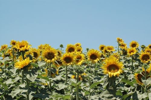 sunflowers sunflower campaign
