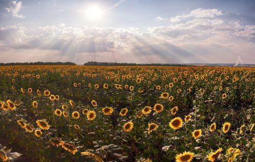 sunflowers landscape summer