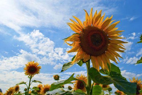 sunflowers blue sky sunflowers against a blue sky