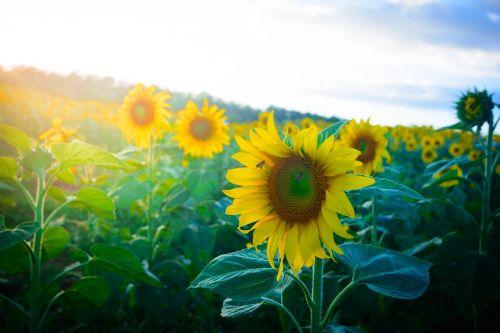 sunflowers dalat milk lam dong