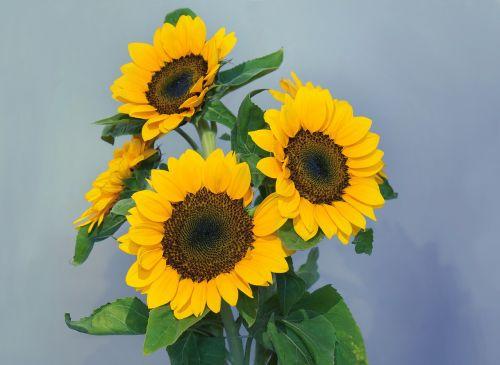 sunflowers sun flower gold flaming