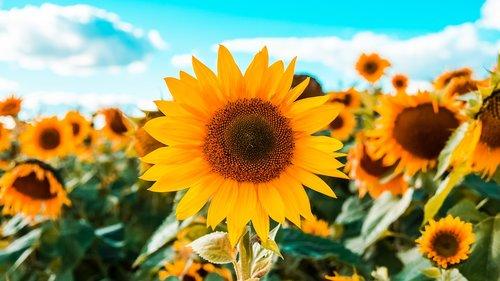 sunflowers  field of sunflowers  field
