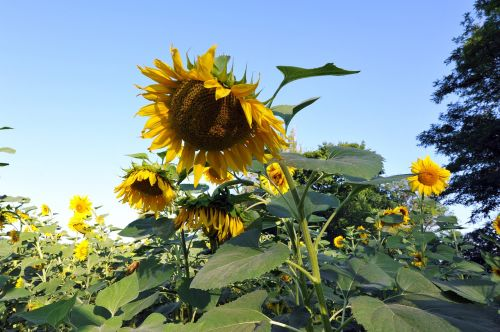 sunflowers huge flower yellow