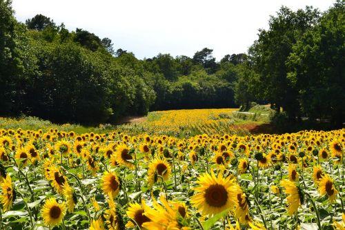 sunflowers sunflower field of sunflowers