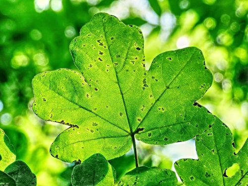 saulės šviesa,lapai,medis,žalias,lapija,natūralus,lapai,kraštovaizdis,šviesus,šviesa