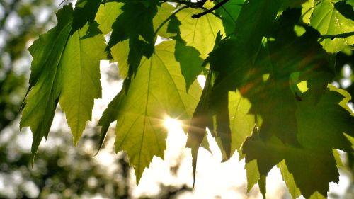 saulės šviesa,žalias,lapai,gamta,vasara,saulėtas,medis,šviesus,saulė,natūralus,lauke,saulės šviesa,šviesa,diena,šviesti,aplinka,spalvinga,lapija,dienos šviesa