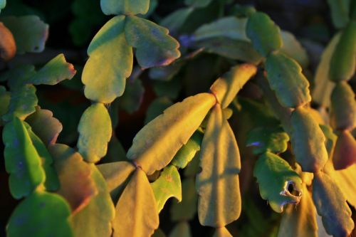 Sunlight On Crabclaw Plant
