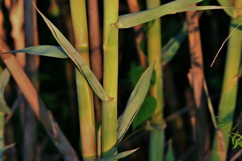 Sunlight On Reeds