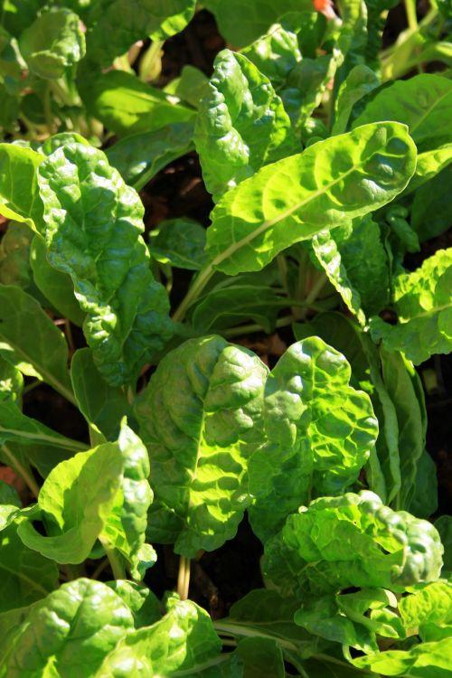Sunlight On Spinach