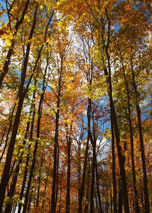 miškai, medžiai, lapai, saulė, saulėtas, mėlynas & nbsp, dangus, dangus, geltona, oranžinė, kritimas, ruduo, saulėtas miškas