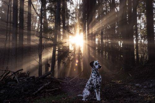 sunrise dalmatians dog