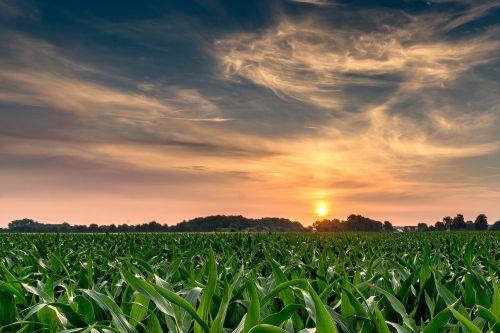 sunrise cornfield nature
