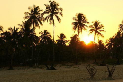 saulėtekis,delnus,Indija