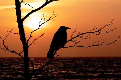 sunrise  hooded crow  bird