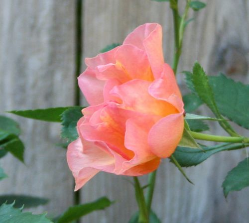 sunrise rose pink orange