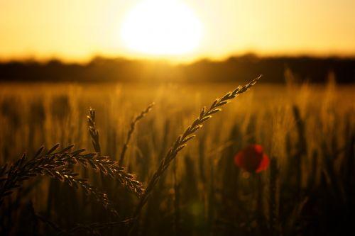 sunset poppy backlight