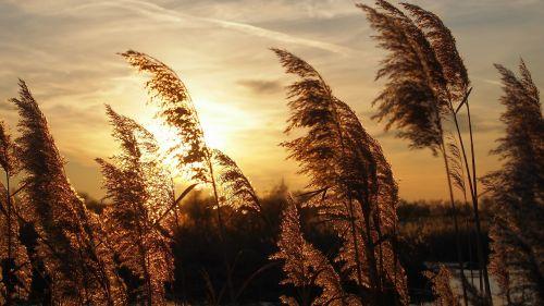 sunset reeds light