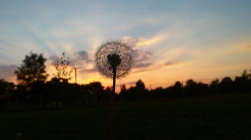 sunset dandelion the plot