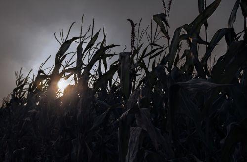 sunset afterglow corn