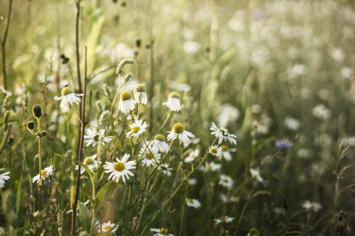 sunset camomile meadow