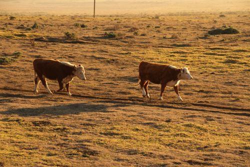 sunset cows farm
