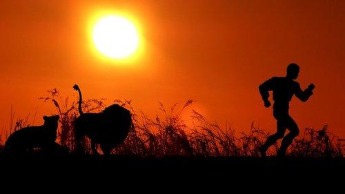 sunset  lion  lioness