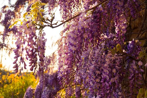 sunset  wisteria  purple