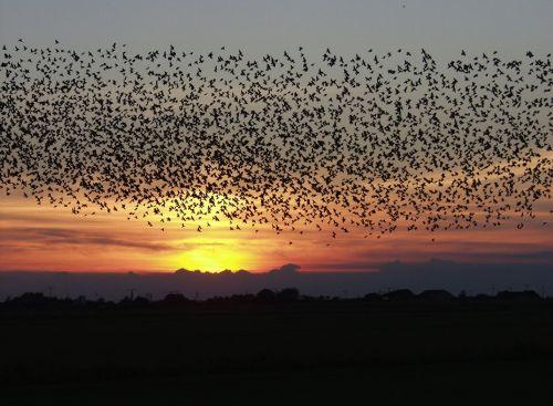 sunset birds blackbirds