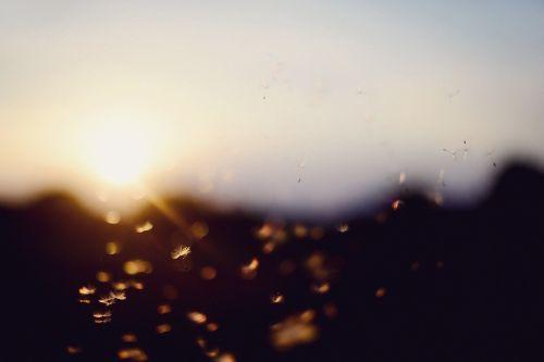 sunset bokeh dandelion
